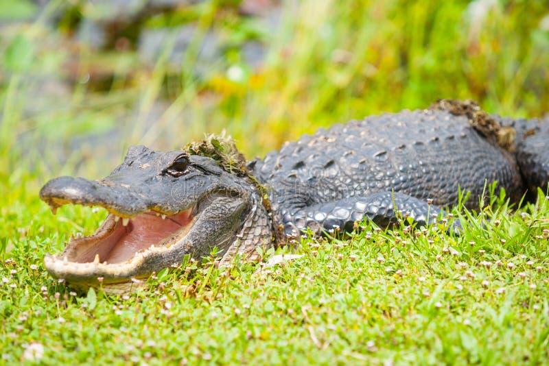 在涌现的野生鳄鱼从由佛罗里达沼泽地的池塘以后 免版税库存照片