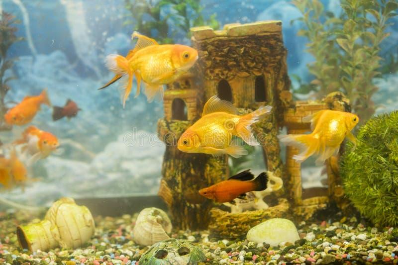 在淡水水族馆的金鱼有绿色美丽被种植的热带的 在淡水水族馆的鱼有绿色美丽的 免版税库存照片