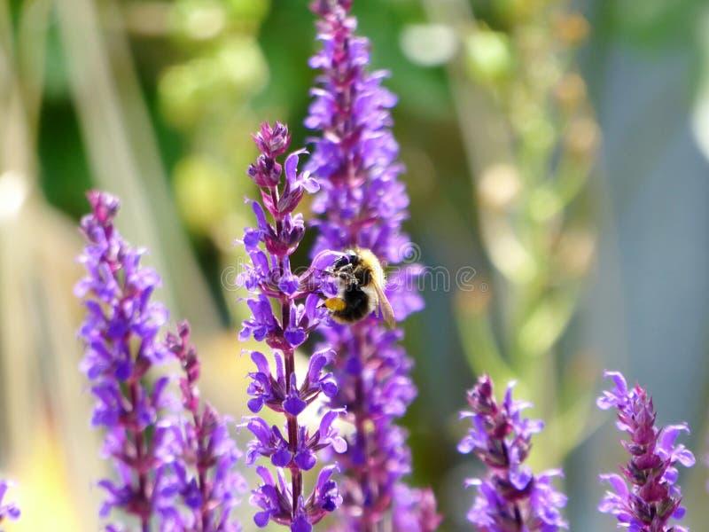 在淡紫色的土蜂 免版税库存图片