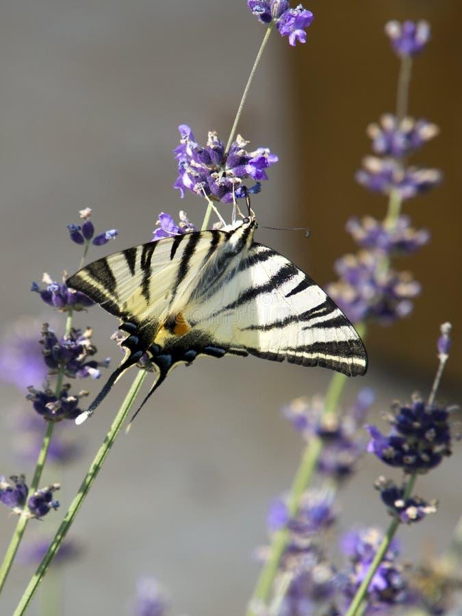 在淡紫色的缺乏swallowtail蝴蝶在匈牙利 免版税库存照片