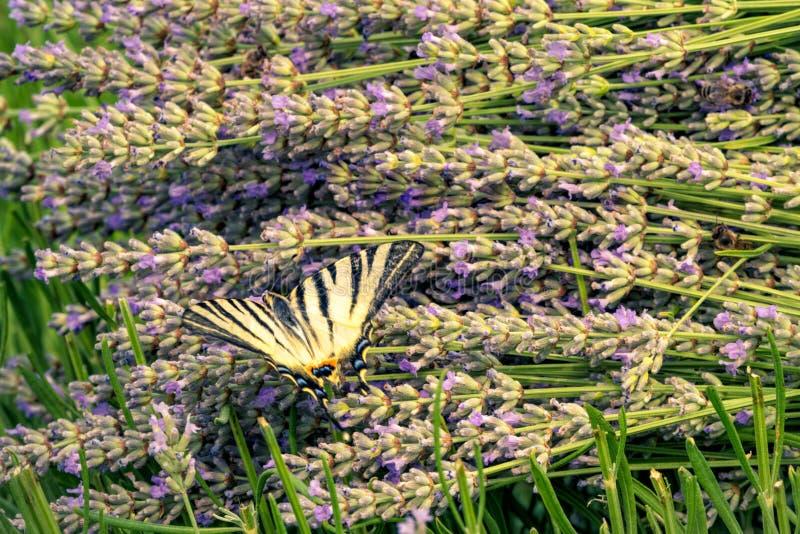 在淡紫色的美丽的Papilio machaon蝴蝶 免版税库存照片