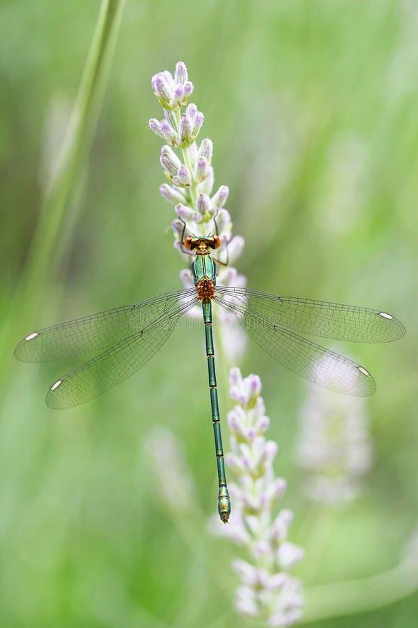 在淡紫色的蜻蜓特写镜头美丽的翼 库存照片