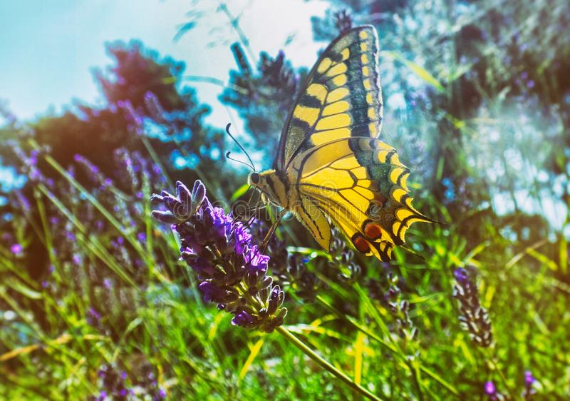 在淡紫色花的五颜六色的蝴蝶 免版税库存图片