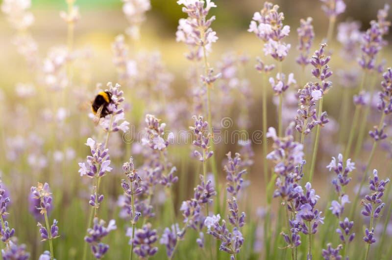 在淡紫色花的土蜂在淡紫色领域特写镜头 r r 图库摄影