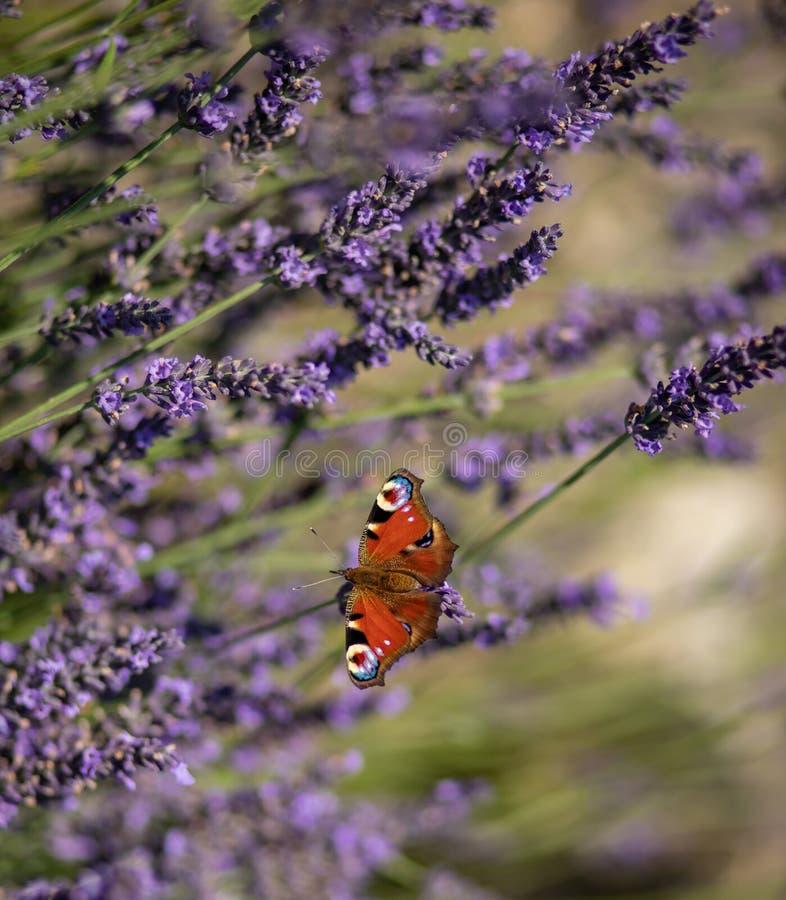 在淡紫色花的孔雀铗蝶 免版税库存图片