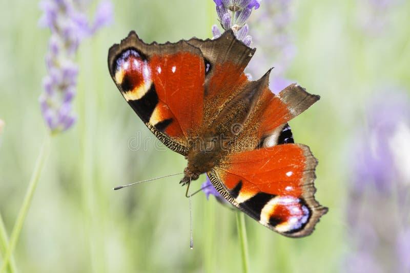 在淡紫色花的孔雀铗蝶 免版税图库摄影