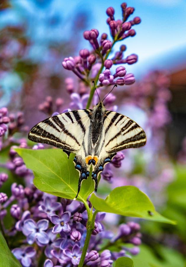 在淡紫色花的蝴蝶 库存图片