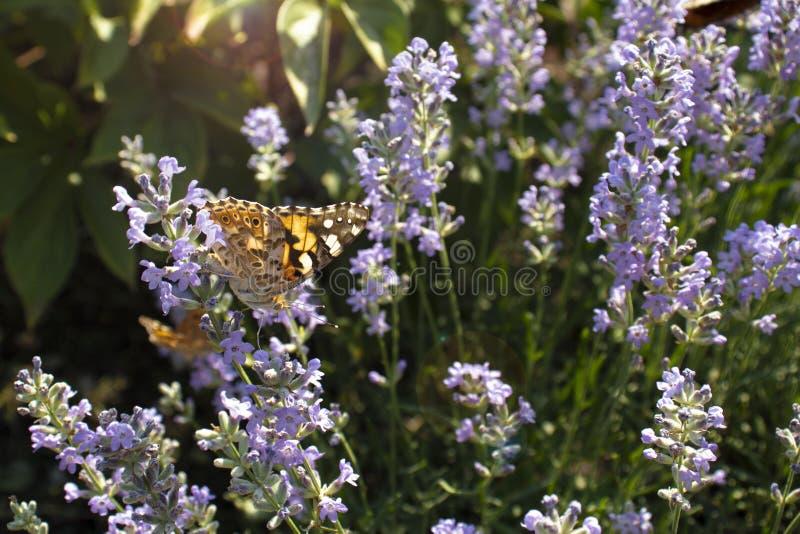 在淡紫色花的领域蝴蝶在一个晴朗的夏日 免版税库存照片