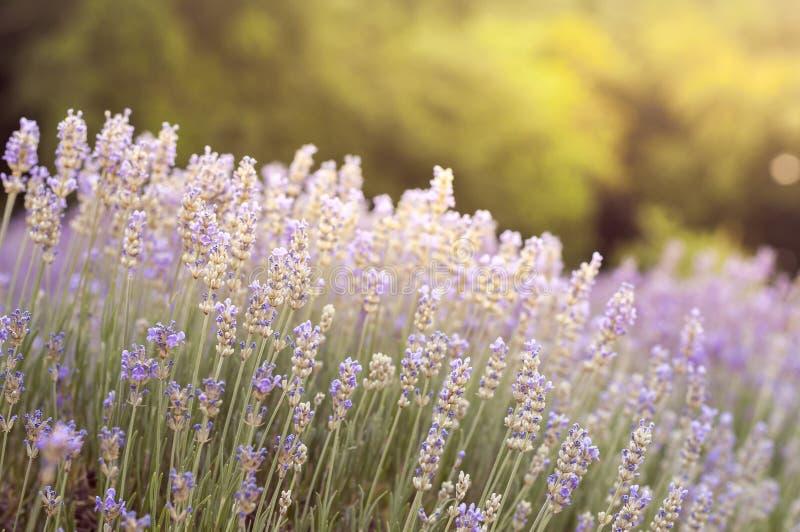 在淡紫色领域特写镜头的淡紫色花 太阳光 r 图库摄影