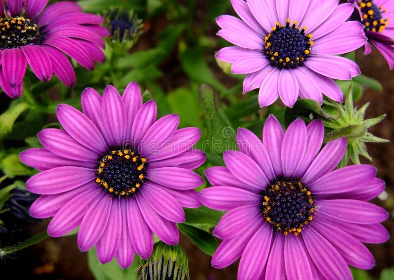 在淡紫色颜色的非洲雏菊Ecklonis 库存图片
