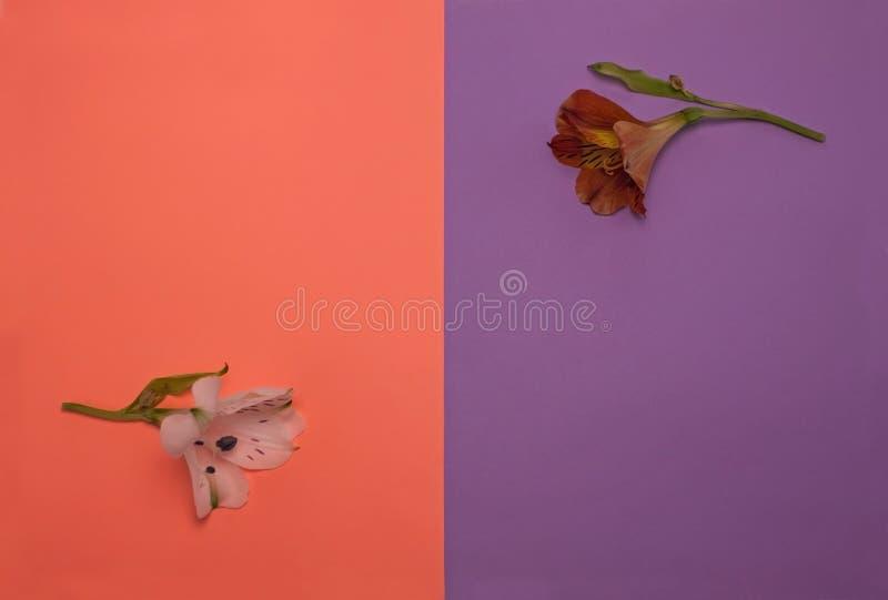 在淡色桃子和紫色背景,平的位置的美丽的红色和白色德国锥脚形酒杯花 r 免版税库存照片