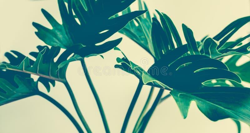 在淡色背景的异乎寻常的热带xanadu叶子 免版税库存照片