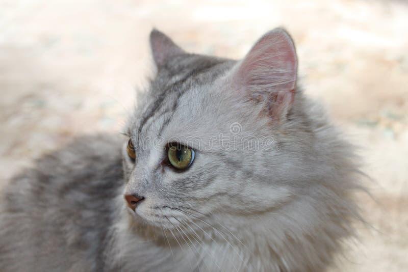 在淡色背景的猫 免版税库存图片