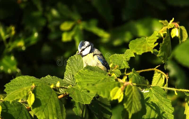 在淡褐分支栖息的雏鸟蓝冠山雀 免版税图库摄影