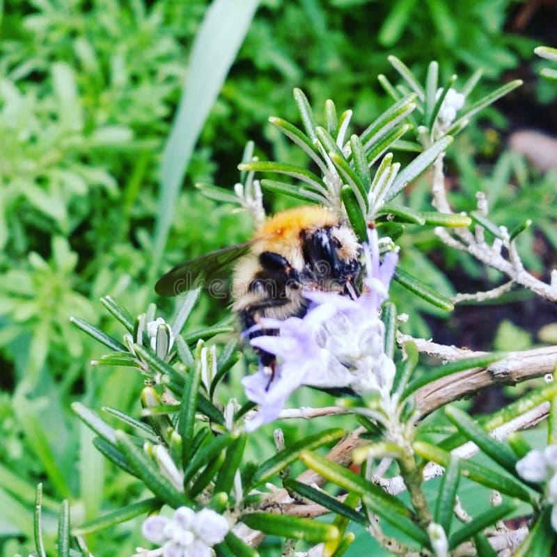 在淡紫色的土蜂 免版税库存照片