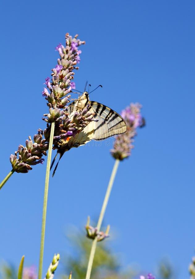在淡紫色的旧世界Swallowtail 免版税库存照片