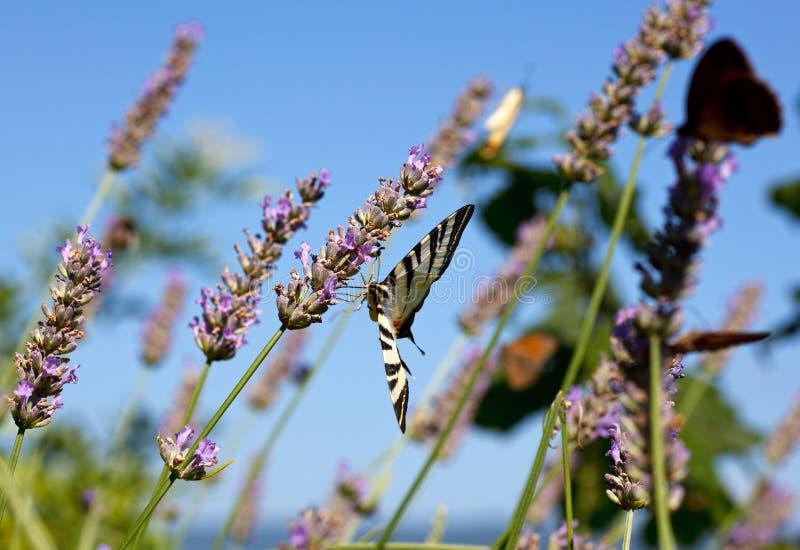 在淡紫色的旧世界Swallowtail 免版税库存图片