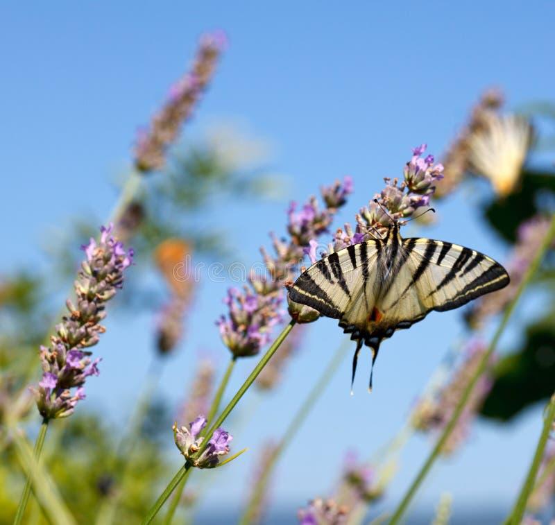 在淡紫色的旧世界Swallowtail 免版税图库摄影