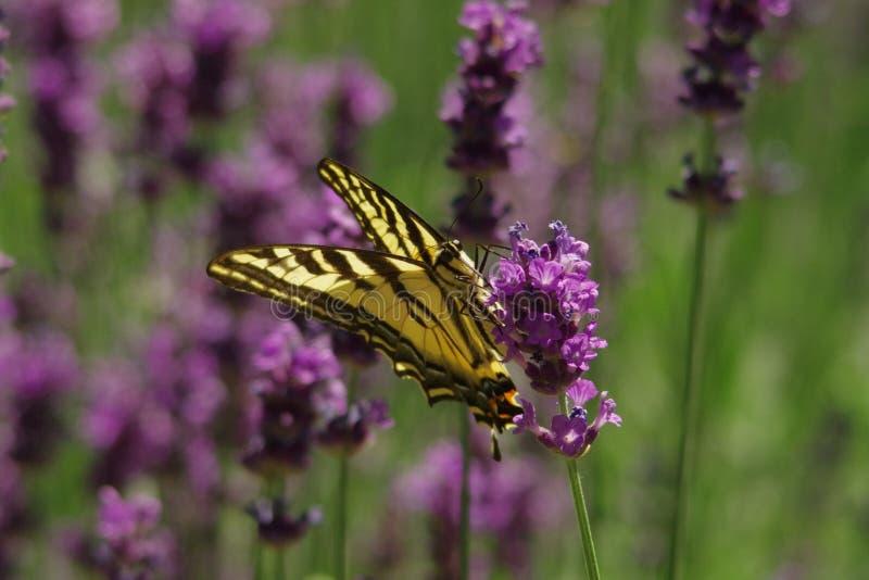 在淡紫色的Swallowtail 免版税库存照片