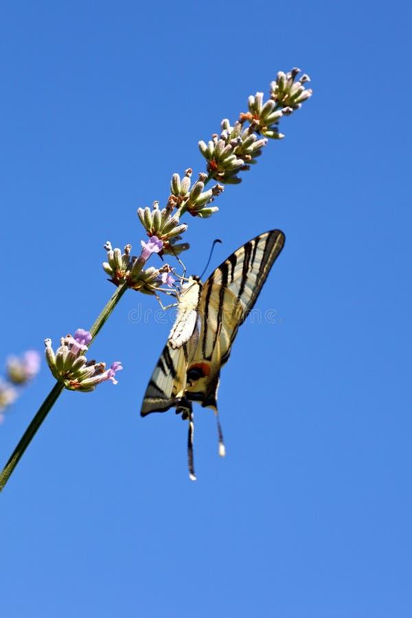 在淡紫色花的旧世界Swallowtail 库存图片