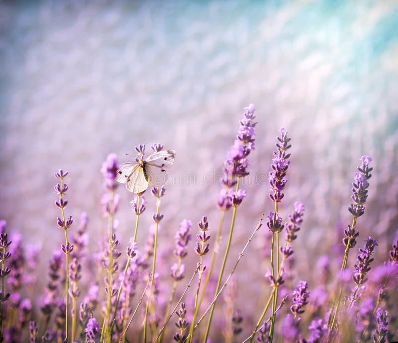 在淡紫色花的白色蝴蝶由阳光点燃了 免版税库存图片