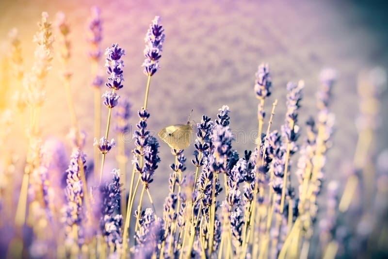 在淡紫色花的白色蝴蝶 免版税库存照片
