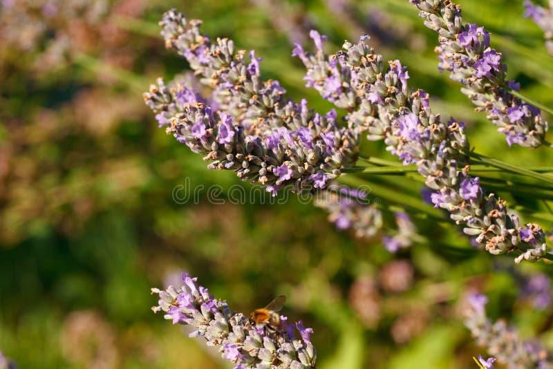 在淡紫色花的蝴蝶 免版税库存照片