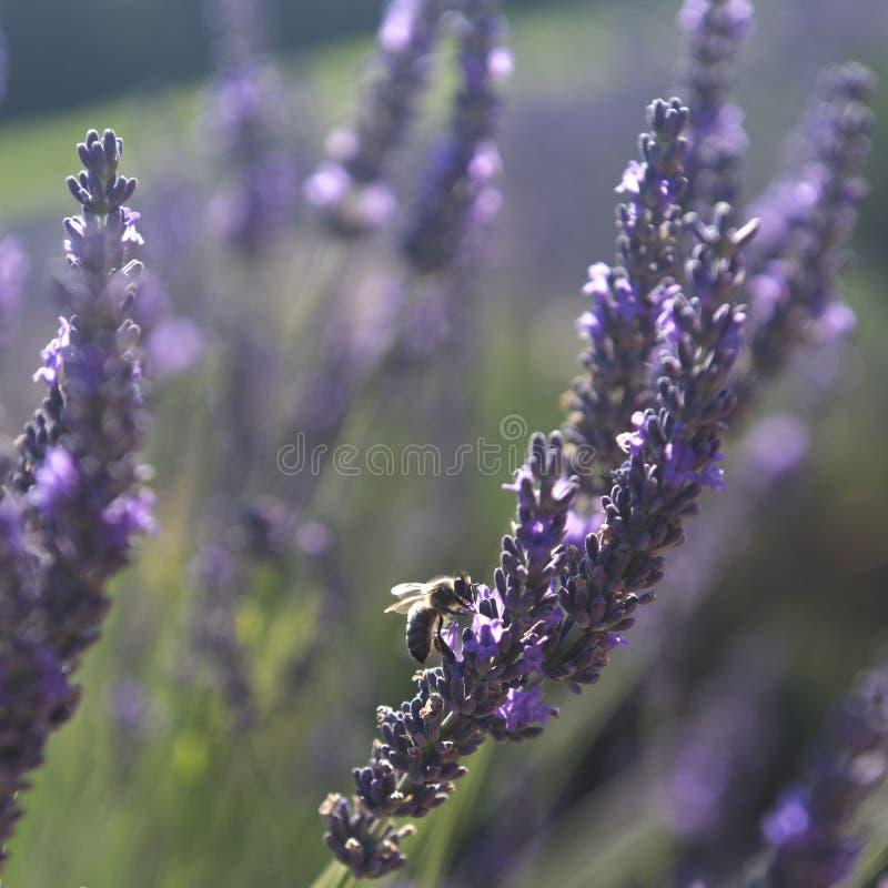 在淡紫色,普罗旺斯的蜂 免版税图库摄影
