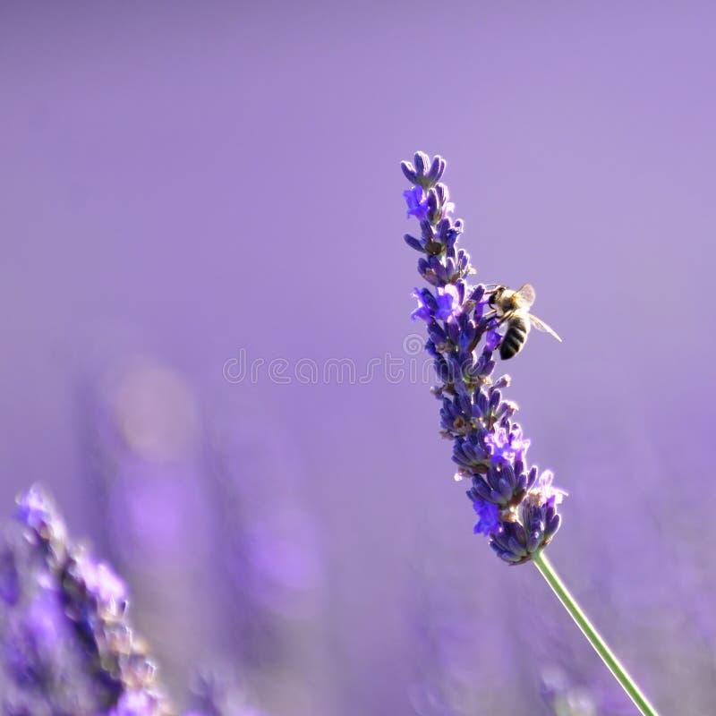在淡紫色,普罗旺斯的蜂 库存照片