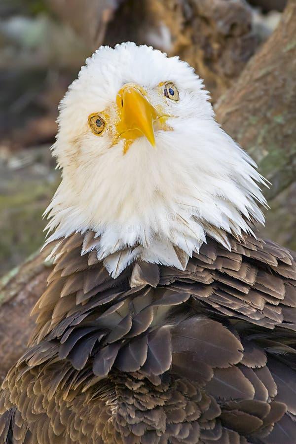 在深刻的想法的白头鹰 图库摄影