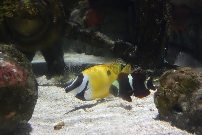 在深的一条黄色鱼海 免版税库存照片