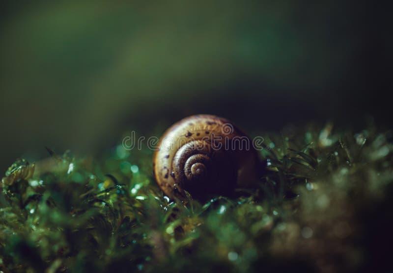 在深绿背景关闭的美好的蜗牛壳 在湿青苔的壳螺旋,宏观 黑暗的神奇图片 库存照片