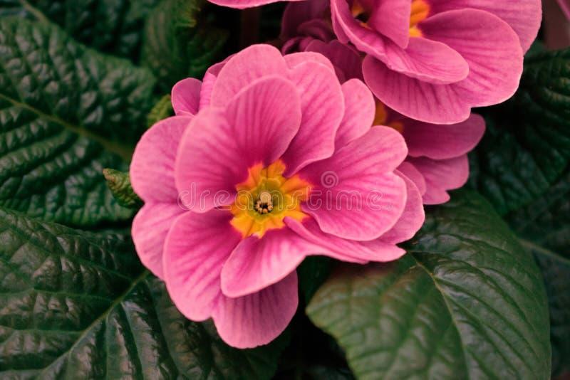 在深绿背景的桃红色呆板的玫瑰 图库摄影