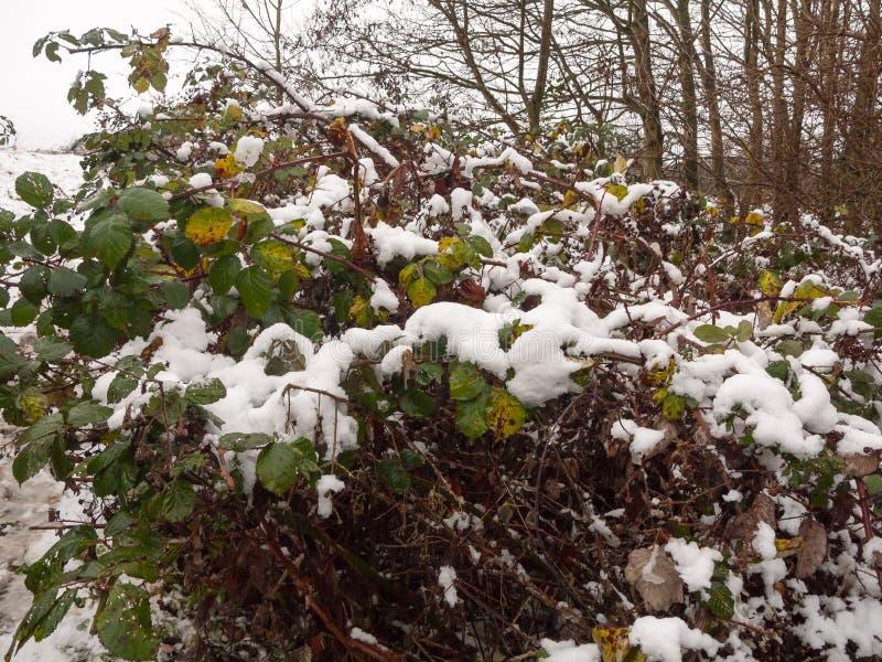 在深绿色褐色死的死的关闭之外的积雪的叶子 库存照片