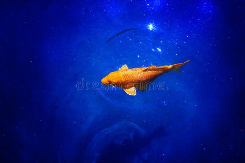 在深蓝发光的水背景关闭的明亮的黄色koi鲤鱼,异乎寻常的金鱼游泳在海洋,美丽的热带金鱼 免版税库存图片