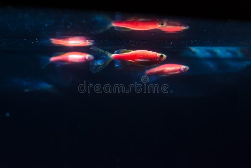 在深蓝背景的红色zebrafish 基因上修改过的发光的鱼 斑马鱼鱼 库存照片