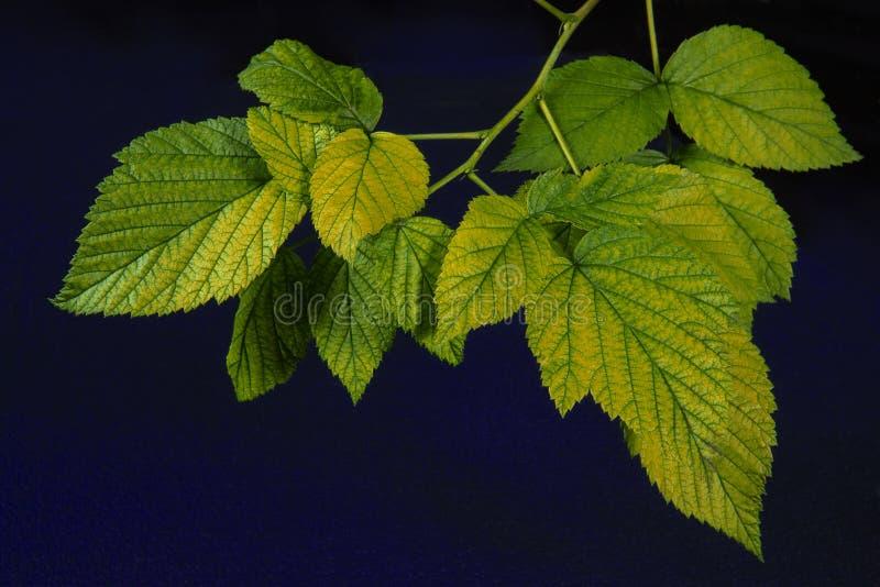 在深蓝背景的年轻黑莓叶子 库存图片