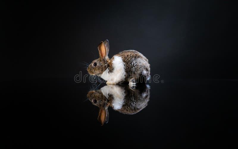 在深黑色背景的逗人喜爱的小的小兔 被隔绝的小白色和灰色兔子 ?? 复活节标志 美好的lovel 库存图片