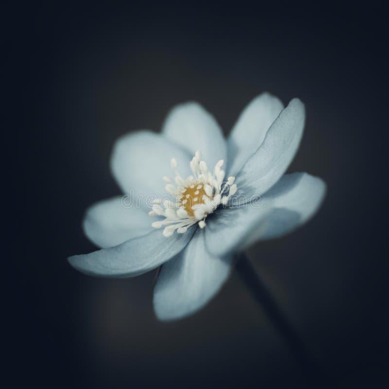 在深黑色被弄脏的背景的蓝色hepatica 与白色雄芯花蕊的春天花 宏观特写镜头,侧视图 免版税图库摄影