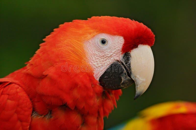 在深绿热带森林,哥斯达黎加里模仿猩红色金刚鹦鹉, Ara澳门,红色顶头画象 从自然的野生生物场面 鸟为 库存照片