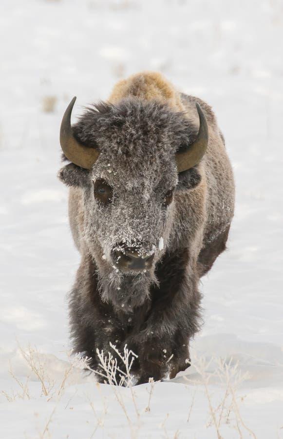 在深刻的雪股票图象的北美野牛 库存图片