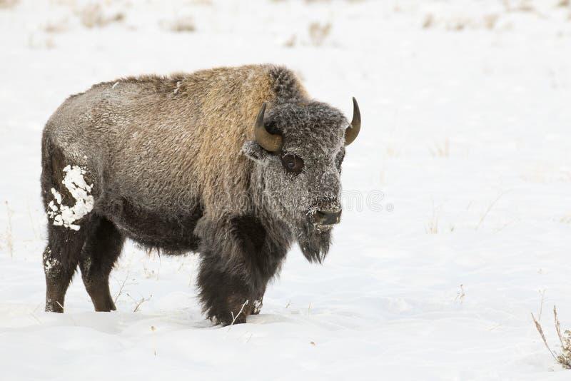 在深刻的雪股票图象的北美野牛 免版税库存图片