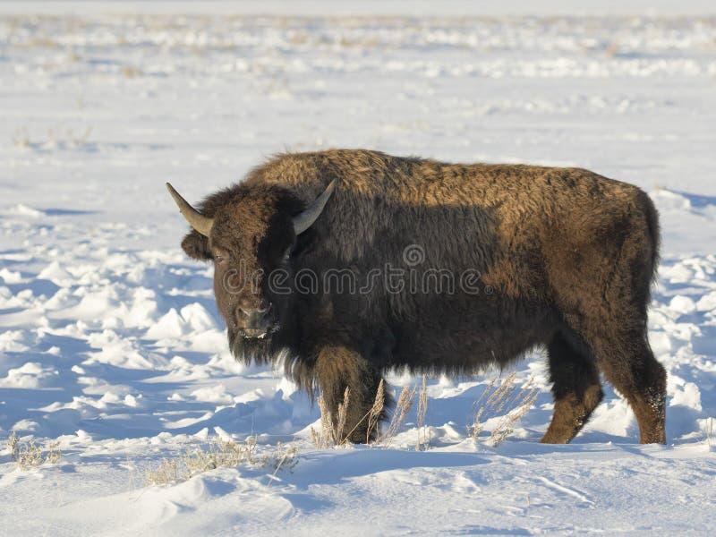 在深刻的雪股票图象的北美野牛 免版税库存照片