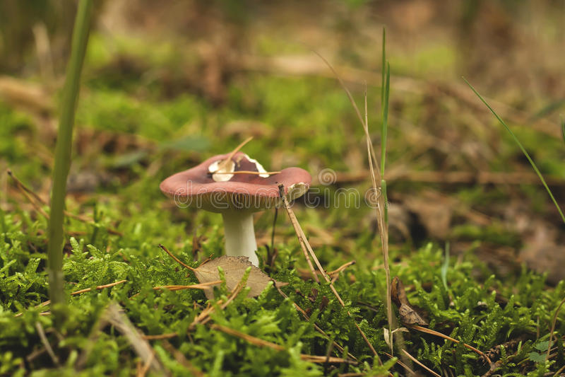 在深绿色青苔的狂放的蘑菇 库存照片