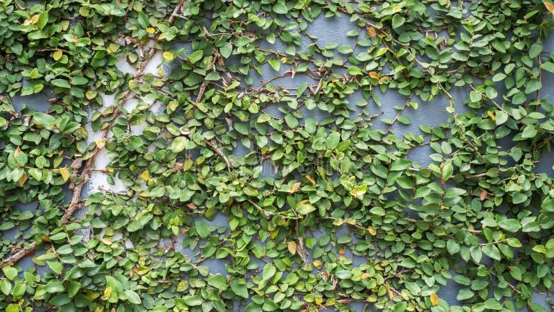 在混凝土墙上的叶子 库存照片
