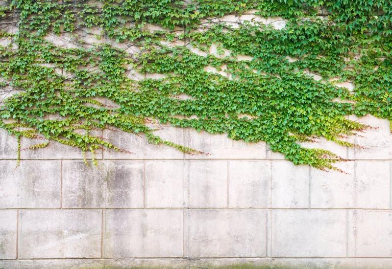 在混凝土墙上的绿色常春藤 免版税库存图片