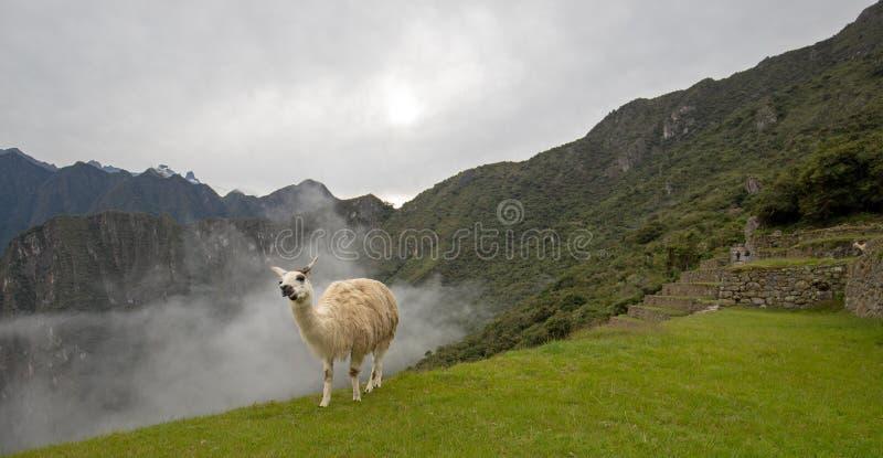 在清早有薄雾的云彩的骆马在马丘比丘在SA秘鲁 免版税库存照片