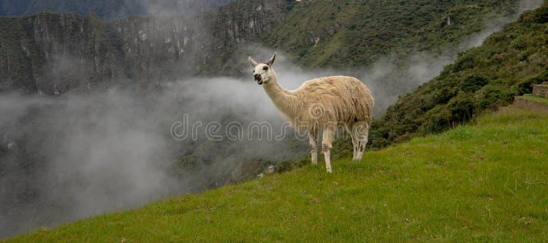 在清早薄雾的骆马在马丘比丘在秘鲁南美洲 免版税库存图片