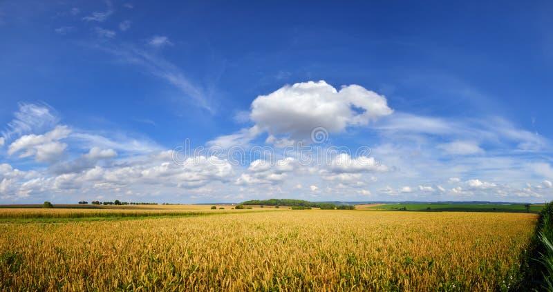 在清楚的天空蔚蓝下的培养的麦田与云彩 免版税库存照片