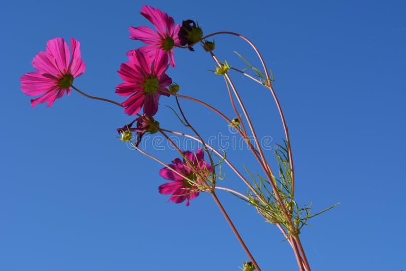 在清楚的天空蔚蓝背景的美丽的cosmea花  明亮的夏天场面 库存图片